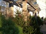 Christmas trees seeking good home :)