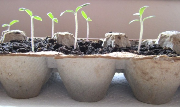egg-carton-seed-starters